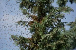 Bienenschwarm 2
